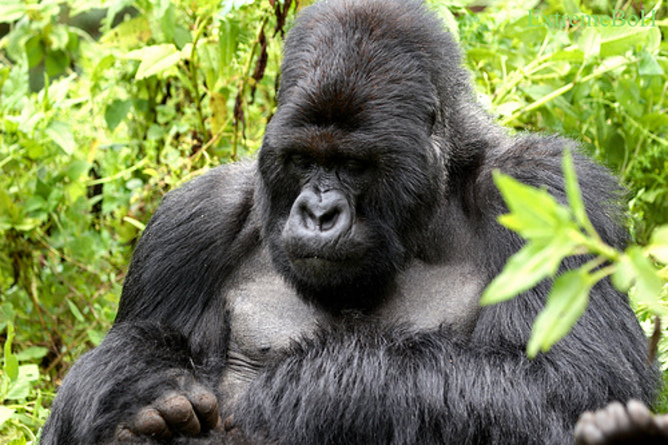 Silverback gorillas defend a harem of females, and mate exclusively ...