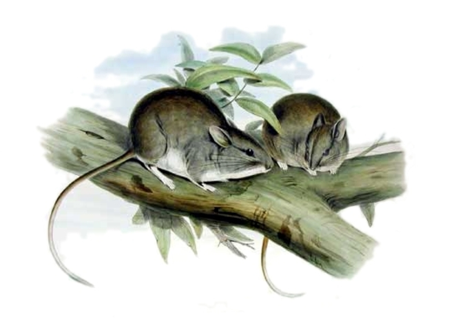 Lesser_stick-nest_rat_gould_wc
