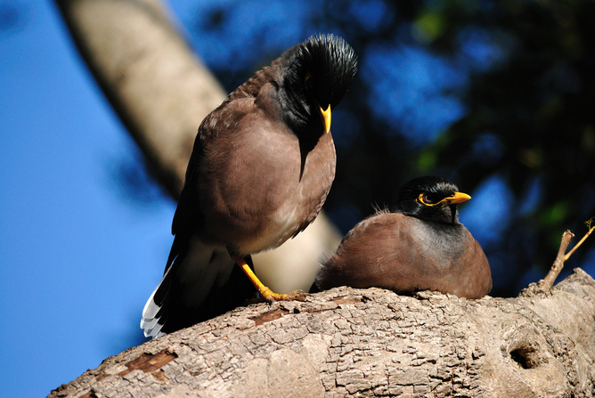 Mynas aggressively compete for nest sites. PG Palmer