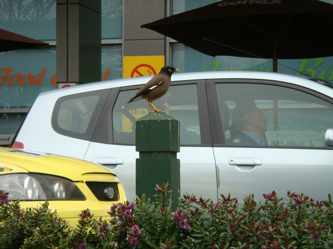 Mynas are highly visible in Australian cities. Louisa Billeter