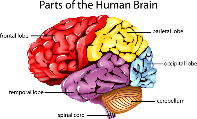 explainer: the brain | school of thinking, Human Body