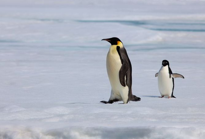 The emperor penguin: walking isn't exactly its speciality, but you ...