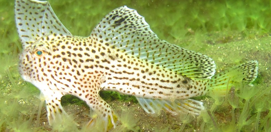 Each Spotted Handfish has its own unique spot pattern. Tess Moriarty