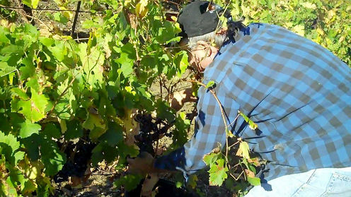 Grape_farmer_ryanovineyards