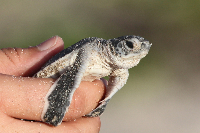 In 50 years, sea turtle hatchlings may be all female. Photo: USFWS Southeast