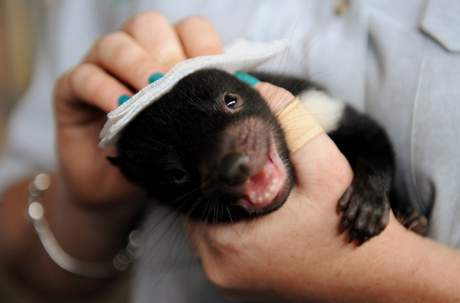 All measures of genetic diversity suggest the Tasmanian Devil is running low. AAP
